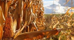 Планету ожидает резкое сокращение урожая кукурузы в связи с украинским кризисом